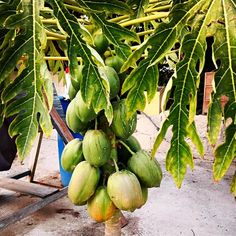 Кто знает что это за дерево и как назыыаются его плоды?  #Cyprus2019 #CyprusButterfly #cyprusisland #goodnight Cyprus News, Coconut, Fruit