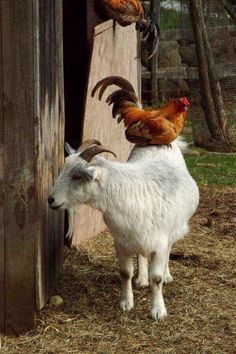 Accommodating goat gives a chicken a warm roost.