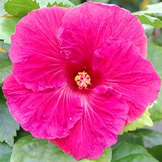 Good evening how was everything friends today! Hibiscus Plant, Hibiscus Flowers, Large Flowers, Beautiful Flowers, Bali Garden, Garden Bird Feeders, Hibiscus Rosa Sinensis, Rose Of Sharon, Hawaiian Flowers