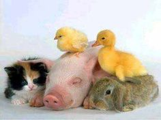 oh all the baby animals together: ducklin, baby rabbit, kitten and pigglet.