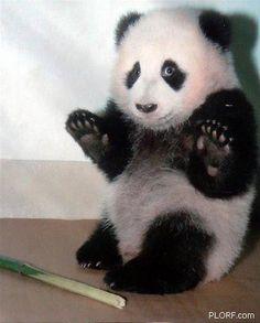 bamboo, anim, laugh, stuff, funni, ador, pandas, babi panda, thing
