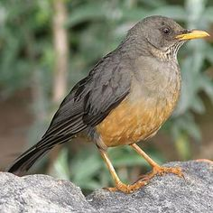MyWay brings together the most comprehensive collection of search tools available to provide you with the information you need when you need it South African Birds, Song Thrush, List Of Birds, Colorful Birds, Bird Watching, Bird Feathers, East Africa, Robins, Wild Things