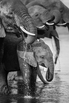 Family of elephants  Chobe National Park, northern Botswana