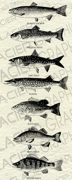 Vintage Copyright Free Atlantic Fish by WAGlacierGraphics on Etsy