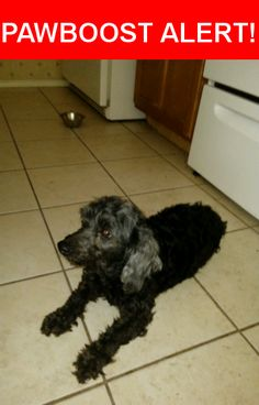 Is this your lost pet? Found in San Antonio, TX 78233. Please spread the word so we can find the owner!  small, female, black fur with a silver ear,  older could be part poodle very sweet, had a purple harness on.   Nearest Address: Near I- 35 Access Rd & Bomar Ln