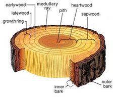The Pipelines of The Tree. Trees need water, sunlight, and nutrients. Three things affect these essential components in tree growth . Nature Study, All Nature, Nature Tree, Tree Study, Tree Identification, Plant Science, Tree Care, Wood Stairs, Botany