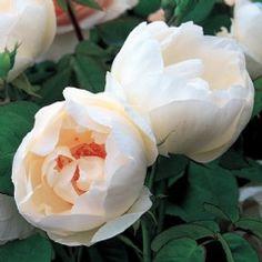 ~The Nun - David Austin Roses