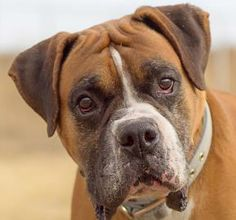 OZZIE is an 8-1/2 year old boxer who was rescued by National Mill Dogs in Colorado. He' s been there awhile and would love a furrever home!! He is a big guy, about 80 pounds. Ozzie is easy going, great on a leash, and loves hanging out on the couch :). more pictures  at https://www.flickr.com/photos/nationalmilldogrescue/sets/72157636850775843. To set up a meet and greet, or for more info, contact 719-495-7679. Animal Id# 21308126 or http://milldogrescue.org Colorado Springs, CO