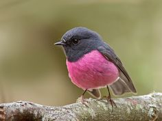 Pink Robin (Petroica rodinogaster), native to southeastern Australia. Photo by Tim Collins, Tasmania