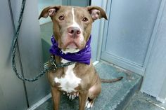 THIS SAD WONDERFUL GIRL WAS SHOWN NO MERCY AND MURDERED 10/16/16 GIVEN NO SECOND CHANCE I'M TOTALLY IN TEARS Manhattan Center MAMI – A1092166 ***SAFER : EXPERIENCED HOME / NO CHILDREN*** FEMALE, BROWN / WHITE, AM PIT BULL TER MIX, 4 yrs OWNER SUR – EVALUATE, NO HOLD Reason NO TIME Intake condition EXAM REQ Intake Date 10/03/2016, From NY 10468, DueOut Date 10/03/2016