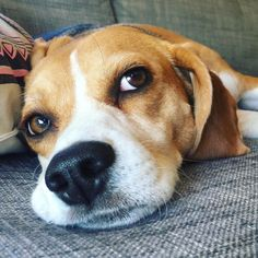 Are you interested in a Beagle? Well, the Beagle is one of the few popular dogs that will adapt much faster to any home. Whether you have a large family, p Beagle Puppy, New Puppy, Cute Beagles, Cute Dogs, I Love Dogs, All Dogs, Animals And Pets, Cute Animals, Adoptable Beagle