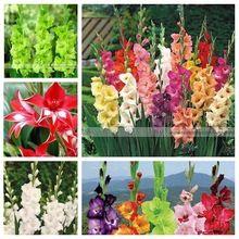200 sztuk Mieczyk nasiona, mieczyk nasiona kwiatów, 95% kiełkowania, DIY Aerobik rośliny doniczkowe, rzadko miecz lily nasiona, darmowa wysyłka(China (Mainland))