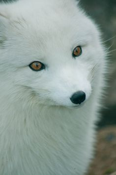 Arctic Fox (by Lovely Creatures, Wild Creatures, Animals And Pets, Baby Animals, Cute Animals, Malamute, Pet Dogs, Dog Cat, Husky