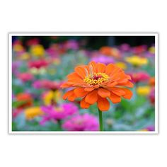 Pretty orange flower in a field of multi colored flowers.  Available in 3 sizes from the drop down menu.