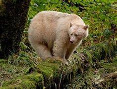 Kermode Bear - Bing Images