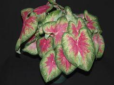 'Roseglow' caladium from Abbott-Ipco