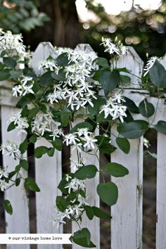 our vintage home love --  sweet autumn clematis
