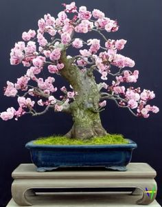 Blooming Albaricoque Japones ~ Bonsai Tree