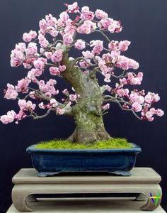...Bonsai Tree...