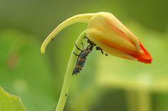 larve de coccinelle en plein repas de pucerons sur un bouton de fleur de capucine