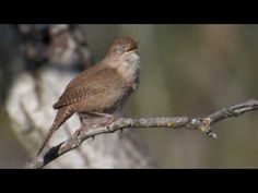 Burgess Bird Book Videos (playlist)
