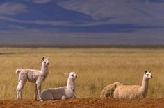 Jujuy province , North of Argentina San Salvador, Argentina Facts, Isaiah 11, Llama Alpaca, Wildlife Nature, Cute Friends, Fauna, Chipmunks, Places To Travel