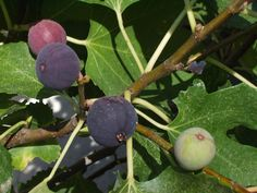 A Comprehensive Guide to Growing A Fruit-Bearing Fig Tree Indoors - Garden and Happy Ficus, Determinate Tomatoes, Good Morning Beautiful People, Acid Loving Plants, Comment Planter, Specimen Trees, Fresh Figs, Fig Leaves, Fig Tree