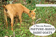 5 Tips on How to Raise Pasture-Based Dairy Goats - Tiramar Farms Homestead