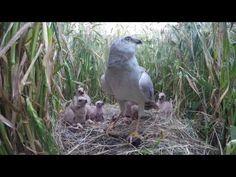 Nature Today | Steppekiekendief, nieuwe broedvogel voor Nederland!