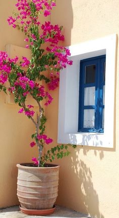 Bougainvillea in Santorini, Greece.    I'll be planting and training a Bougainvillea in a pot soon...how beautiful!
