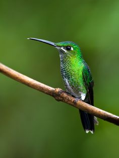 The Green-crowned Brilliant - Heliodoxa jacula, is a large, robust hummingbird that is a resident breeder in the highlands from Costa Rica to western Ecuador. Female bird pictured.      Photo by Bill Holsten.