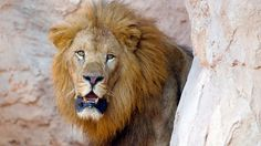 Lion mauls woman to death during sex - http://theothernewssource.com/2013/03/07/odds-and-ends/lion-mauls-woman-to-death-during-sex/