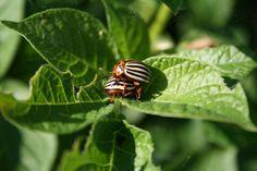 Kártevőriasztó növények: nyílt ellenségeskedés a kertben | Bálint Gazda Honlapja