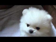White Pomeranian 6 week