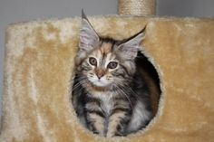 Fame, Mainecoon 19-07-'14