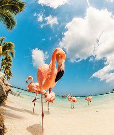 source : pinterest/ renaissance island pink flamingos, aruba _  collection photo couleur animaux volatiles exotiques, flamands roses