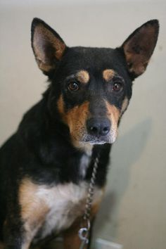 Bowser Age : 1 years Breed : Kelpie X Location: Edmonton Intake: August 2013 August 2013, Bowser, Animal Rescue, Age, Animals, Animais, Animales, Animaux, Animal Welfare