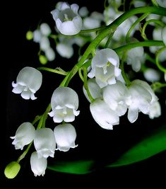 Lily of the Valley:  Sweetness, Humility, Returning Happiness, Trustworthy