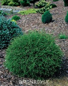 Mr. Bowling Ball™ Arborvitae Thuja occidentalis 'Bobozam' - Slow grower to 24 to 30 in. tall and wide.