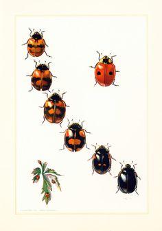 1960 Coccinelle. Illustration Insecte. Planche Identification Originale Entomologie. de la boutique sofrenchvintage sur Etsy