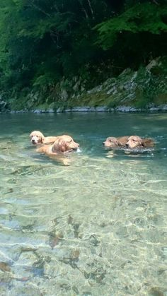 Golden Retrievers and water go hand in hand