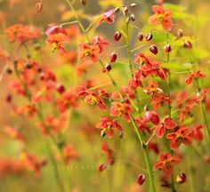 Vibrant display of Epimedium warleyense. Photo by Sukey McDonough