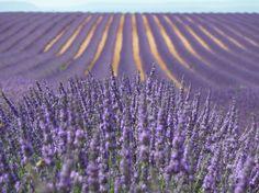 lavender field closeup