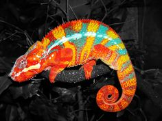Beautiful Panther Chameleon Rainbow Bright Colorful Cool Reptiles Camouflage On The Twigs of Trees Picture Photo Background HD Wallpaper