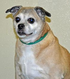 Pictures of Lucy a Pug for adoption in Port Washington, NY who needs a loving home.