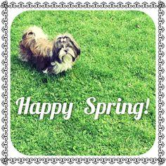 "Zara the Shih Tzu wishes you a  ""Happy Spring!"""