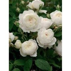 Fabulous Rosa uClaire Austin u Englische Rose uClaire Austin u Baumschule NewGarden Garden
