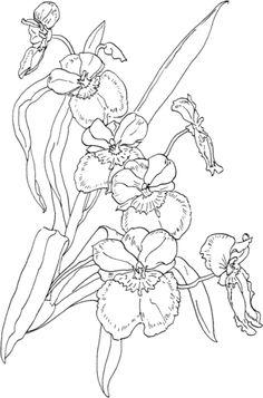Orqudea Polilla Rosa Tropical o Phalaenopsis Schilleriana Dibujo