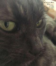 Egyptian Mau-black smoke-beautiful cats-Katzenblog Egyptian Mau, Black Smoke, Beautiful Cats, Animals, Future, Cats, Pictures, Pretty Cats, Animales