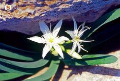Risultati immagini per giglio marino fiore